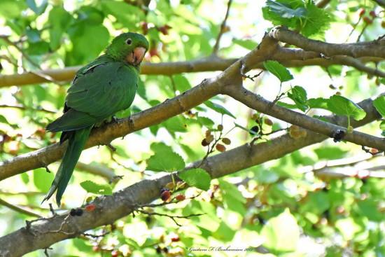 Calancate ala roja/White-eyed Parakeet