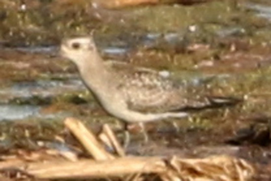 Chorlo pampa/American Golden-Plover