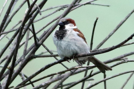 Goorión/House Sparrow