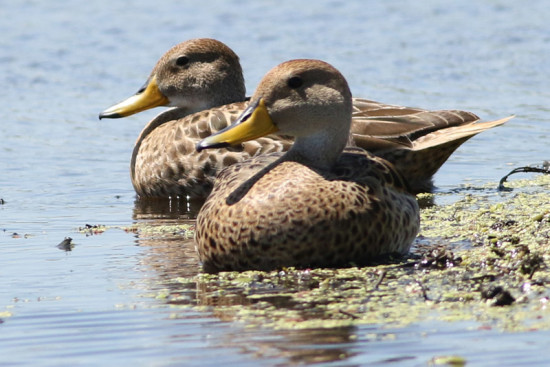 Pato maicero/Yellow-billed Pintail