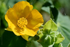 Abutilon/Hairy Indian mallow