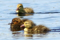 Picazo-cabeza negra/Pochard-Black-headed Duck
