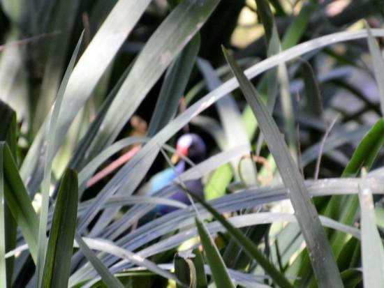 Pollona azul/Purple Gallinule