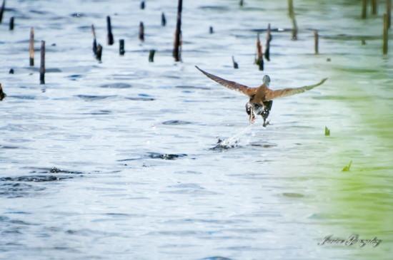 Pollona pintada/Spot-flanked Gallinule