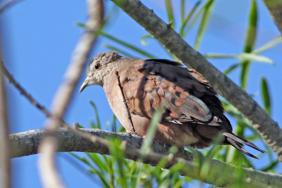 Torcacita colorada/Ruddy Ground-Dove
