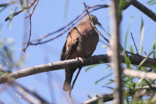 Torcacita colorada/Ruddy Ground-Dove