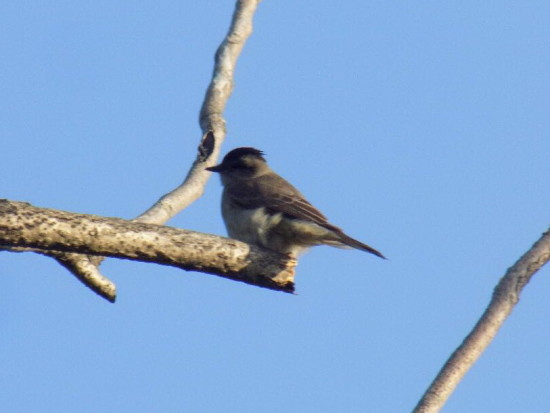 Tuquito gris/Crowned Slaty Flycatcher
