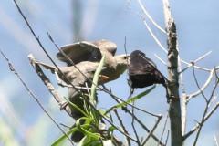 Varillero ala amarilla-tordo/Yellow-winged Blackbird-Cowbird