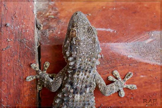 Gecko/Common Wall Gecko