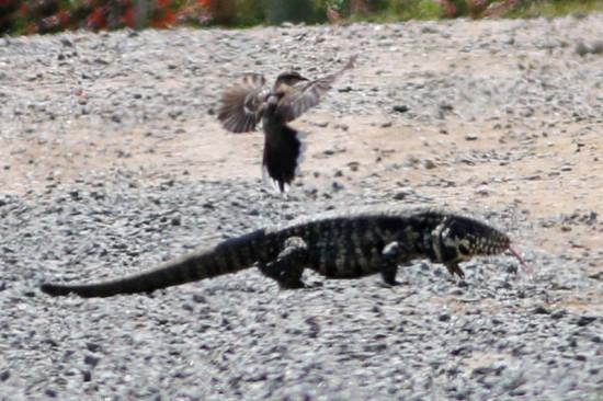 Calandria-lagarto/Mockingbird-Tegu