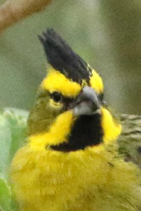 Cadenal amarillo/Yellow Cardinal