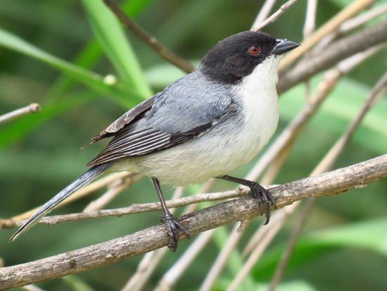 Monterita cabeza negra/Black-capped Warbling-Finch