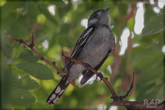Anambé común/White-winged Becard