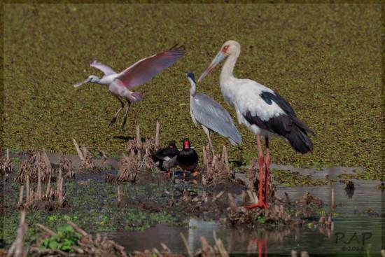 Espátula-cigüeña/Spoonbill-Stork