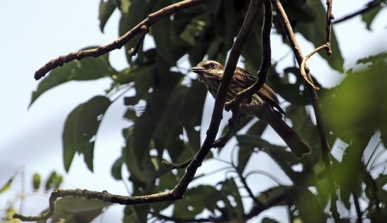 Benteveo rayado/Streaked Flycatcher