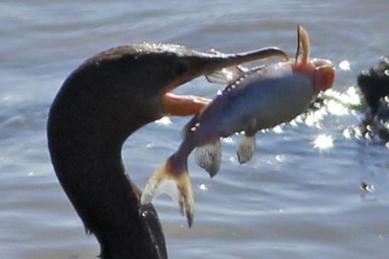 Armado común/Granulated Catfish