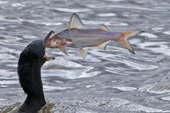 Porteñito/Catfish