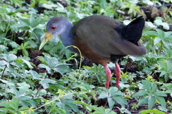 Chiricolte/Grey-necked Wood-Rail