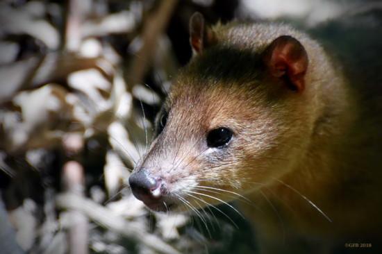 Comadreja colorada/Thick-tailed Opossum