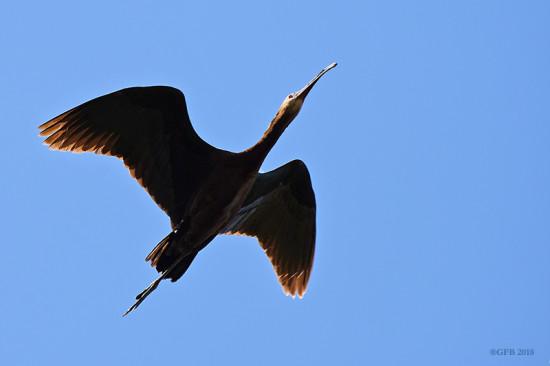 Cuervillo cara pelada/White-faced Ibis