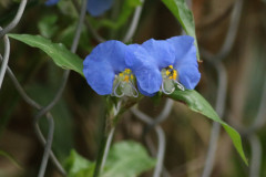 Flor de Santa Lucía/Whitemouth dayflower