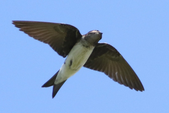 Golondrina doméstica/Grey-breasted Martin