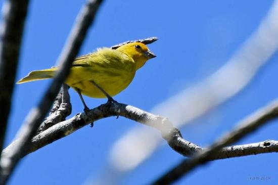 Jilguero dorado/Yellow Finch