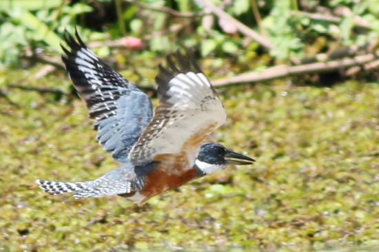 Matín pescador grande/Ringed Kingfisher