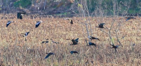 Aves playeras/shorebirds