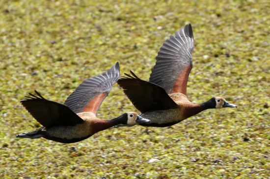 Sirirí pampa/White-faced Whistling-Duck