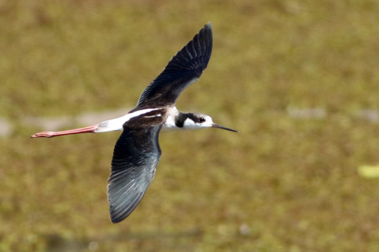 Tero real/Black-backed Stilt