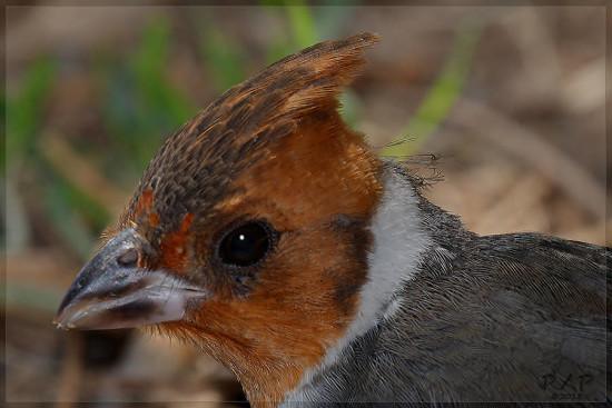 Cardenal ocmún/Red-crested Cardinal
