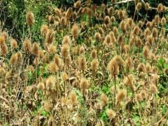 Cardencha/Wild teasel