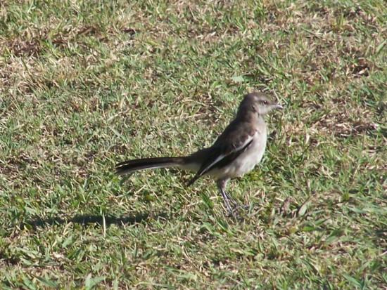 Calandria real/Wite-banded Mockingbird