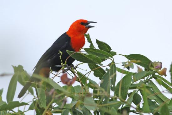 Federal/Scarlet-headed Balckbird
