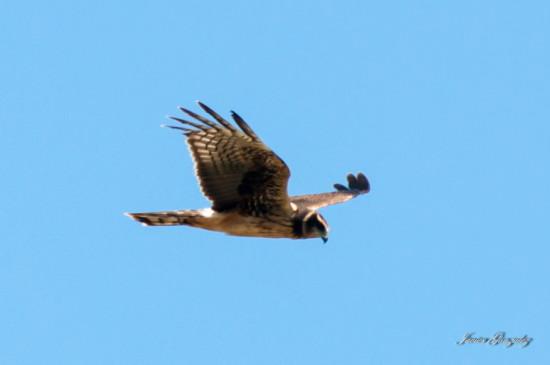 Gavilán planeador/Long-winged Harrier