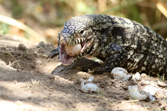 Lagarto overo/Blach-and-white Tegu Lizard