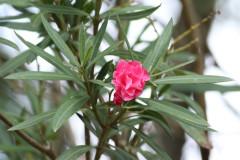 Laurel de jardín/Oleander