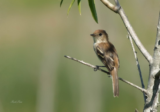 Mosqueta estriada/Bran-coloured Flycatcher