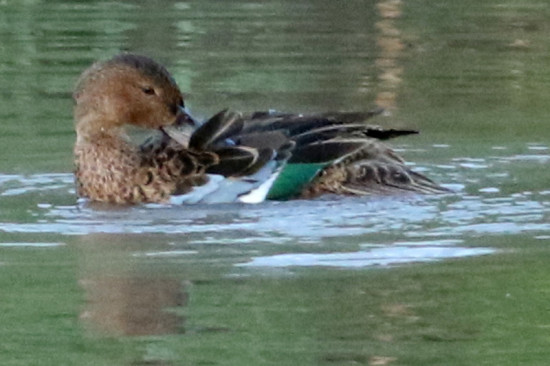 Pato colorado/Cinnamon Teal