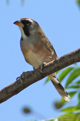 Pepitero chico/Many-coloured Chaco Finch