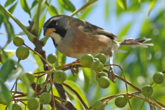 Pepitero chico/Many-coloured Chaco Finch