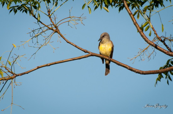 Suirirí rela/Tropical Kingbird