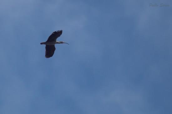 Bancurria mora/Plumbeous Ibis