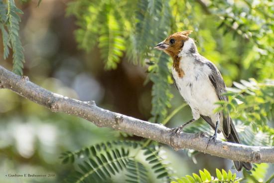 Cardenal comùn/Red-crested Cardinal