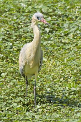 Chiflòn/Whistling Heron