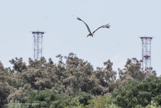 Cigûeña/Maguari Stork