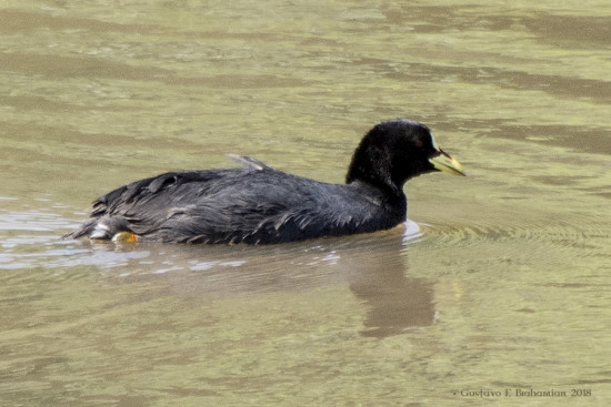 Gallareta ligas rojas/Red-gartered Coot
