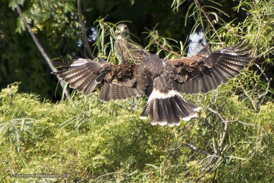 Caracolero-Gavilàn mixto/Kite-Hawk