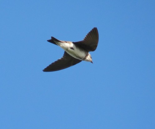 Golondrina parda/Brown-chested Martin